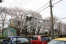お店の前の桜が満開です