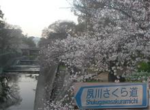 🌸満開🌸 夙川さくら道 @ 西宮・夙川公園