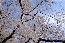上野の桜♪