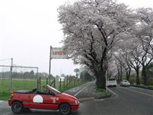 4月1日は海軍道路の桜朝オフですよ~~