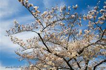 咲き始めた桜♪