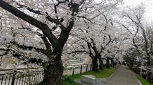 京都86BRZ クラブ比叡山お花見ツーリング😝🌸