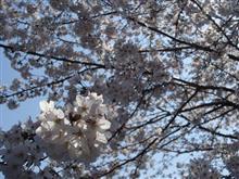 大岡川観桜散歩
