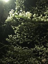 3月28日 〜夜桜見物〜。