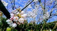 会社のご近所で花見(^O^)