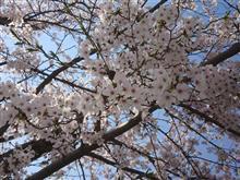 名古屋も桜が満開です!!!