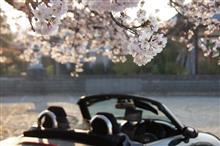 続!!桜満開(^^♪