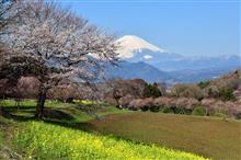 菜の花と桜と富士山と。(神奈川県大井町)
