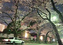 夜桜見物♡