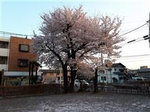 散り始めた桜🌸と咲いた花