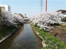 またまた桜です、ゴメンナサイ🙇・・・