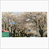 今年も桜が満開となり、桜のト ...