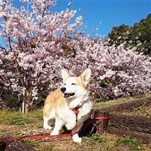 桜。。今年も綺麗やね