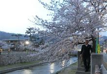 🌸満開🌸 芦屋川河畔 桜並木 花見散歩(ウォーキング)