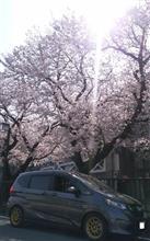 2018/3/29 桜