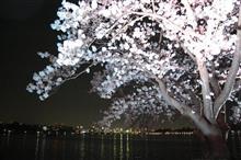 夜桜の季節・・・昼の桜も