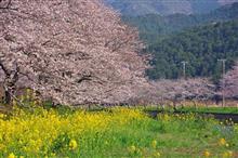 伊豆半島桜ドライブ