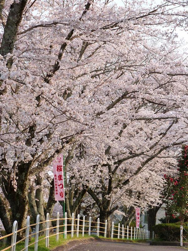 「桜まつり」、今年はそれまでに散ってしまいそう・・。