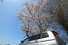 風邪っけ桜
