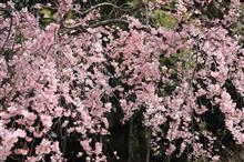 サクラ咲きましたね、ちょっとお散歩してきました