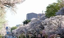 今年も桜の名所へ行ってきました~♪
