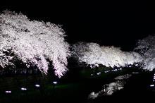 野川桜 ライトアップ...全国放送のお陰で大混雑