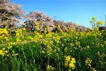 桜と菜の花と故障?