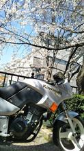 桜の下の 銀バッタ