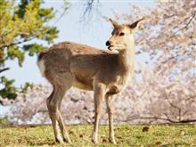 2018桜ドライブ1 奈良周辺の桜