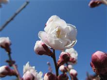 やっと梅が開花