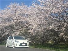 桜が満開🎵 パート2