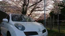 いつもの桜を見に行きました