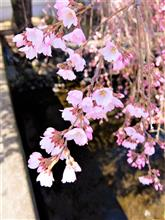 信州上田千本桜も咲き始めて、春爛漫です~