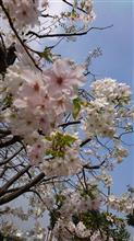 東京の桜は終盤戦突入