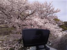 1本桜2018!