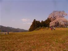 樹齢600年の桜咲く