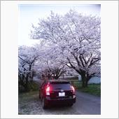 桜は良いですね