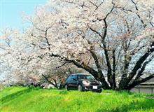 桜とMINI(*^_^*)