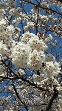 ついでの投稿・・・・・・小田原城の桜🌸