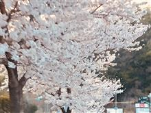 桜満開の週末、新名神のペースメーカーライト