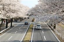 栃木の桜・・・見頃でした。