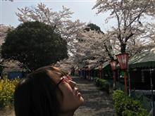 津山の桜とホルモンうどん