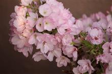 桜まつり はじまり はじまり。
