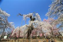 秩父市清雲寺まで桜満開ドライブ