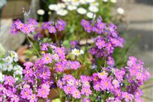 桜の花と実家の花々