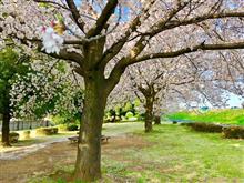 土日の桜と花筏