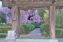 慈雲寺のイトザクラ