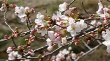 いよいよ郡山にも桜が・・