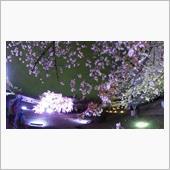電飾みたいな枝垂れ桜