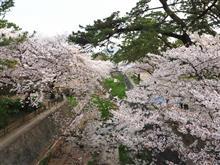 近所の桜、西宮夙川(*^-^*)